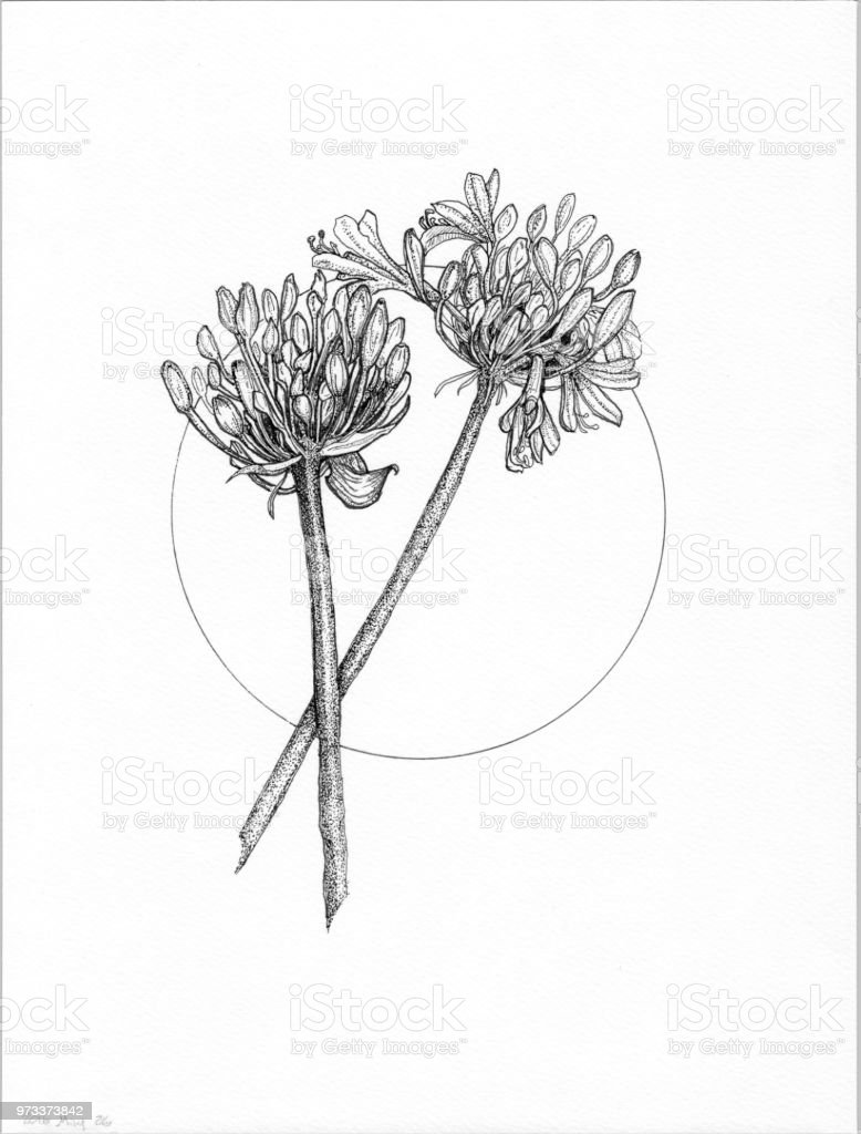 Agapanthus in black and white vector art illustration