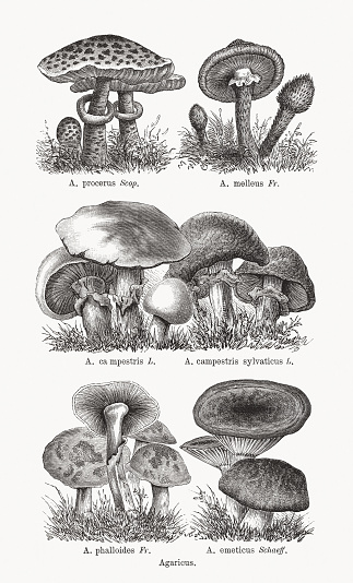 Agaricus: Parasol mushroom (Macrolepiota procera, or Agaricus procerus); honey fungus (Armillaria mellea, or Agaricus melleus); Meadow mushroom (Agaricus campestris, or Agaricus ca mpestris); Scaly wood mushroom (Agaricus silvaticus, or Agaricus campestris sylvaticus); Death cap (Agaricus phalloides); Sickener (Russula emetica, or Agaricus emeticus). Agaricus is a genus of mushrooms containing both edible and poisonous species, with possibly over 300 members worldwide. Wood engravings, published in 1893.