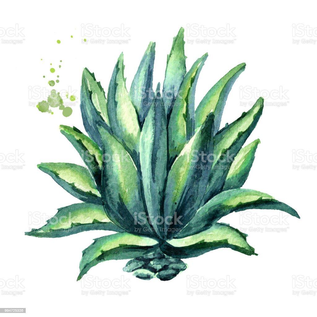 Planta de agave. Acuarela ilustración de dibujado a mano, aislado en fondo blanco - ilustración de arte vectorial