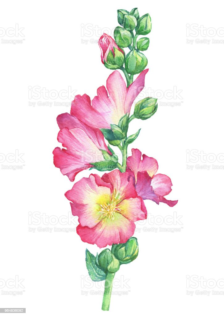 Alcea rosea, Mallow pink flower (also called malva, hollyhock, Althaea rugosa). Watercolor hand drawn painting floral illustration isolated on white background. royalty-free alcea rosea mallow pink flower watercolor hand drawn painting floral illustration isolated on white background stock illustration - download image now