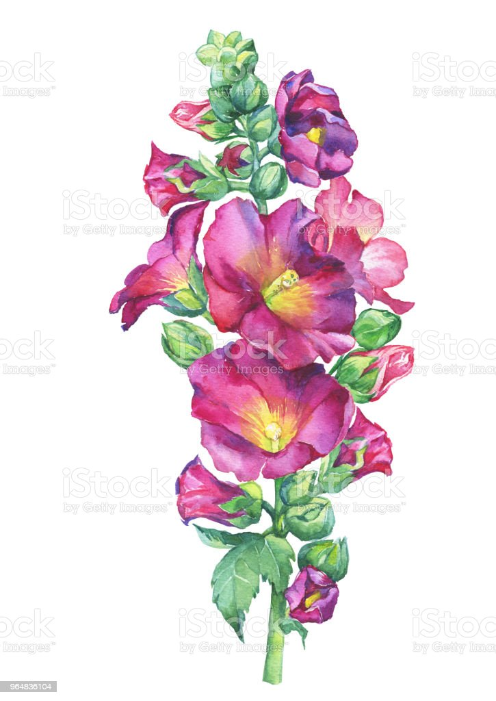 Alcea rosea, Mallow pink flower (also called malva, hollyhock, Althaea rugosa). Watercolor hand drawn painting floral illustration isolated on white background. royalty-free alcea rosea mallow pink flower watercolor hand drawn painting floral illustration isolated on white background stock vector art & more images of althaea