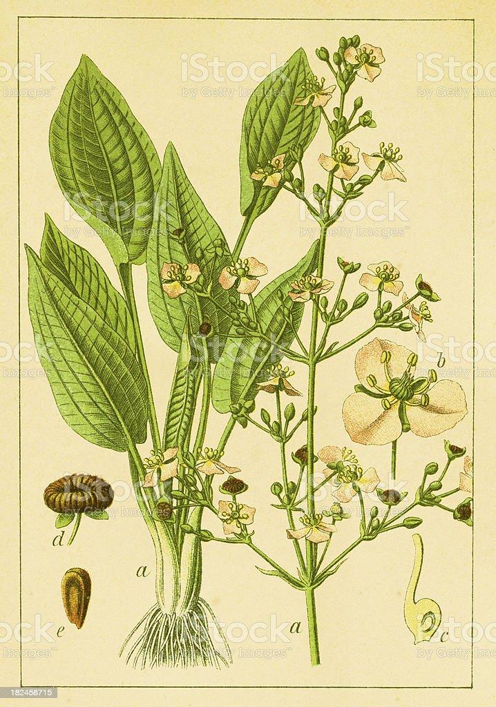 Alisma michaletii/antigüedades de flor e ilustraciones ilustración de alisma michaletiiantigüedades de flor e ilustraciones y más banco de imágenes de anticuado libre de derechos
