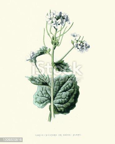istock Alliaria petiolata, Garlic mustard, botanical flower print 1209320516