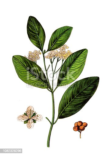 Illustration of a Allspice, also called pimenta, Jamaica pimenta, or myrtle pepper