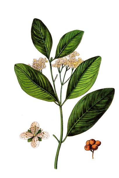 Allspice, also called pimenta, Jamaica pimenta, or myrtle pepper Illustration of a Allspice, also called pimenta, Jamaica pimenta, or myrtle pepper allspice stock illustrations
