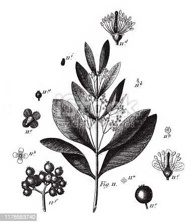 Allspice, Plants Indigenous to Sandy or Rocky Soil; A Sandalwood, and Representatives of the Order Myrtales Engraving Antique Illustration, Published 1851. Source: Original edition from my own archives. Copyright has expired on this artwork. Digitally restored.