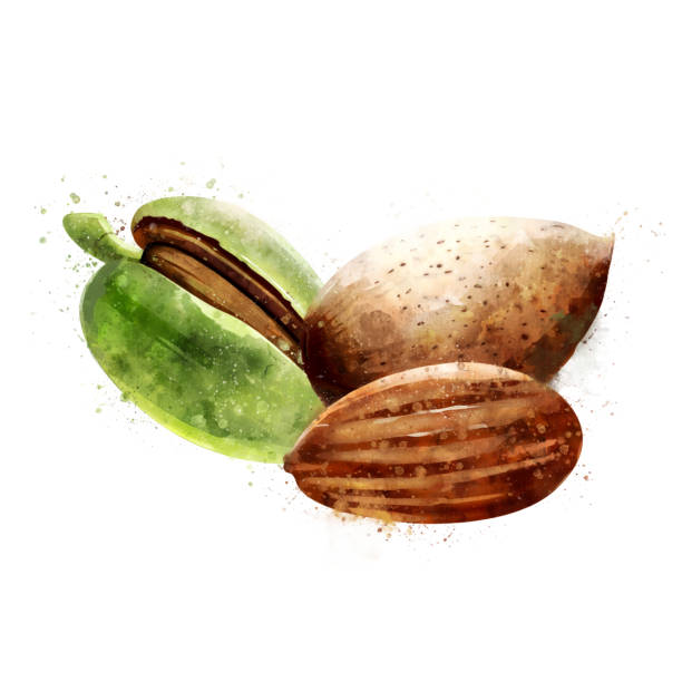 ilustrações de stock, clip art, desenhos animados e ícones de almond on white background. watercolor illustration - amendoas