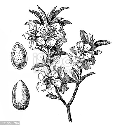 Illustration of a Almond tree (Prunus dulcis, Prunus amygdalus)