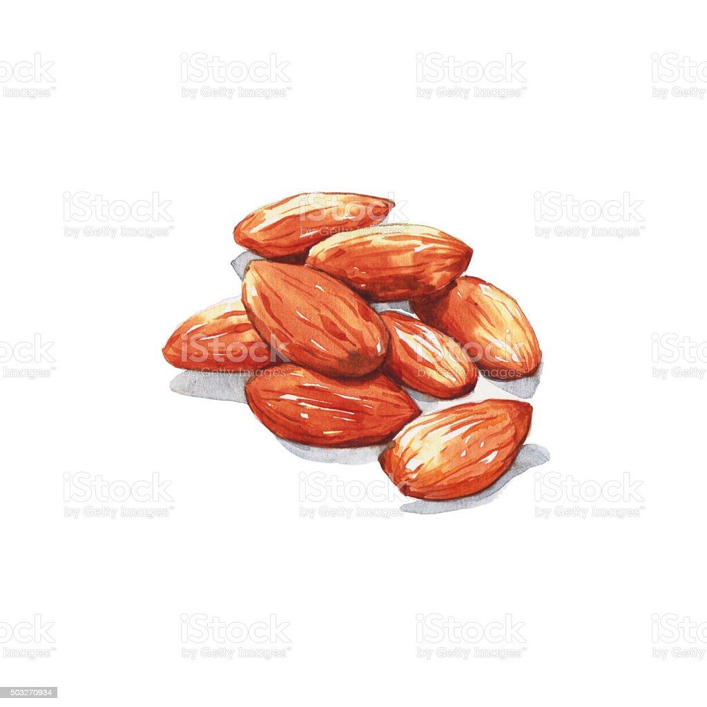 Almonds vector art illustration