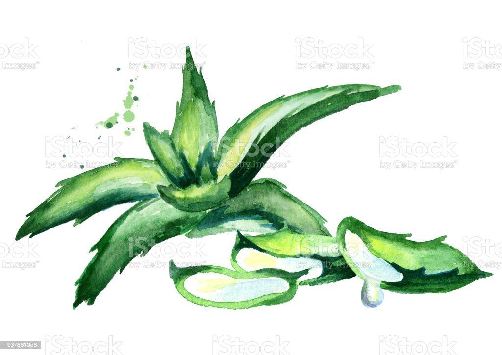 Composition de l'Aloe vera. Illustration aquarelle dessinés à la main - Illustration vectorielle