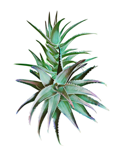 aloe vera floral plant. - aloe vera stock illustrations