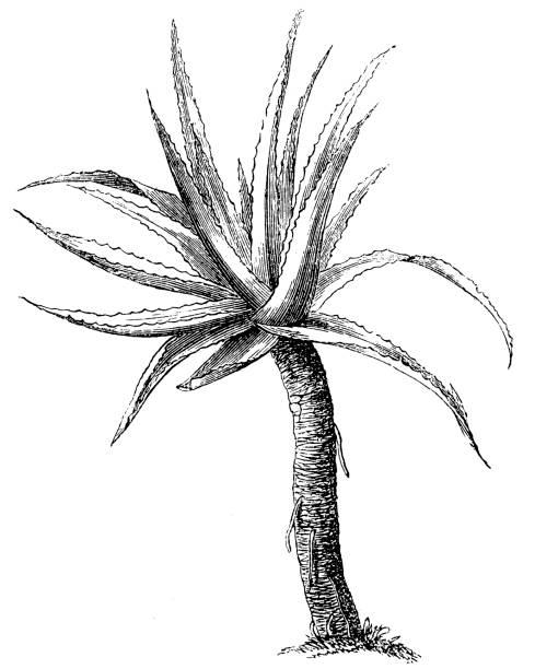aloe vera (aloe vulgaris) - aloe vera stock illustrations