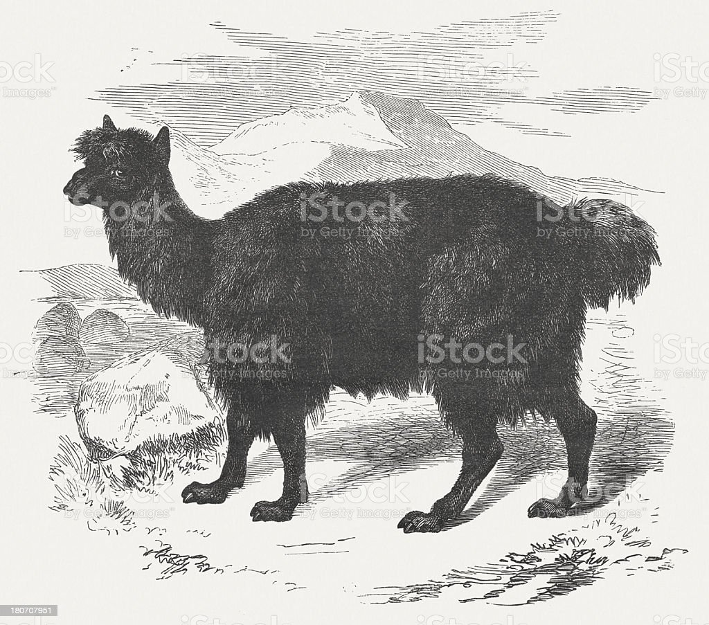 Alpaca (Vicugna pacos), wood engraving, published in 1875 royalty-free stock vector art