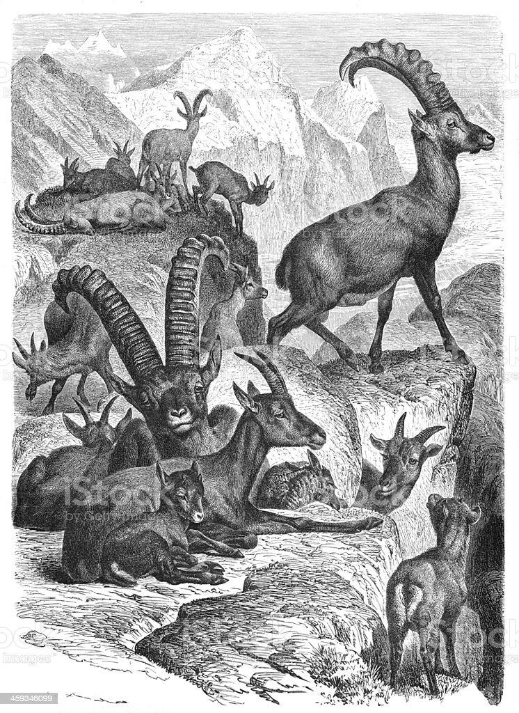 Bouquetin des Alpes ou Steinbock en 1877 - Illustration vectorielle