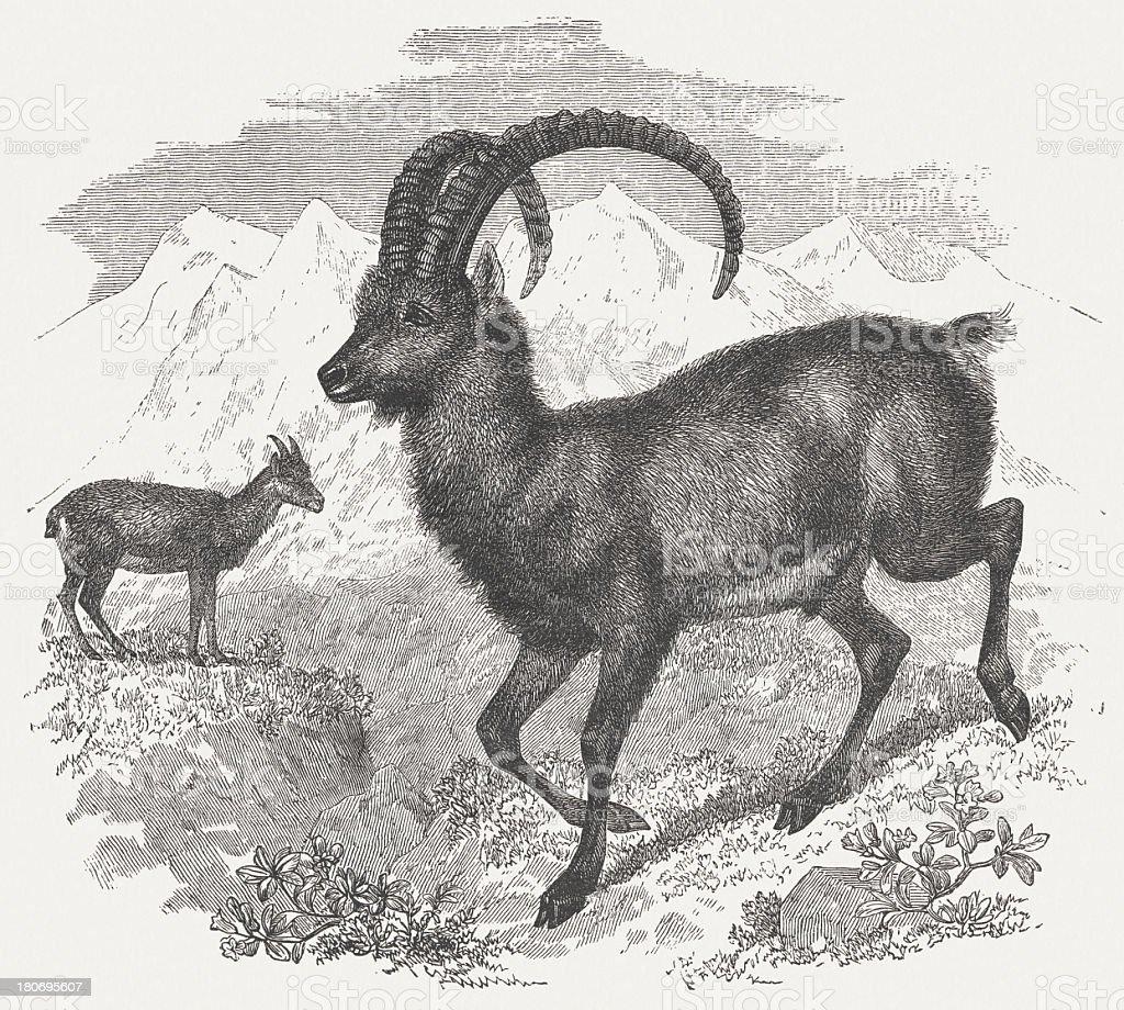 Bouquetin des Alpes-par Robert Kretschmer, publié 1875 - Illustration vectorielle