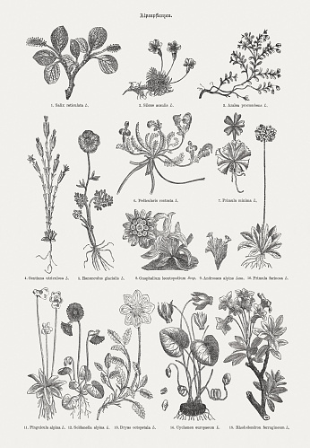 Alpine plants, wood engravings, published in 1893