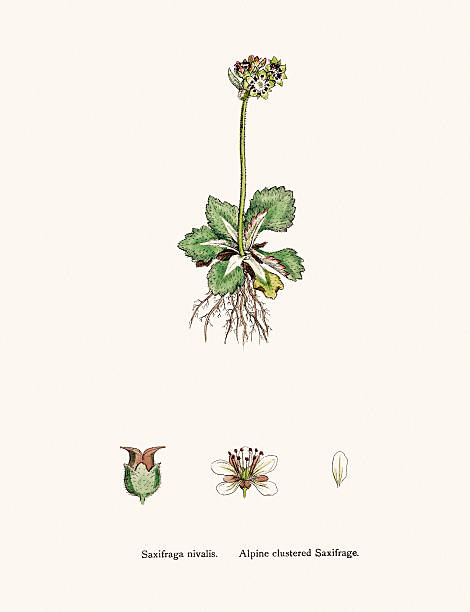 Best Saxifrage Illustrations, Royalty-Free Vector Graphics ...  Purple Saxifrage Drawing