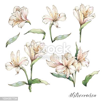 Alstroemeria flowers set. Watercolor white lilies. Perfect for wedding invitations and stationery.