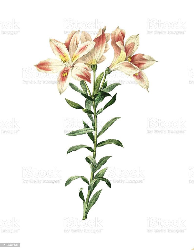 Alstroemeria pelegrina/Redoute ilustraciones de flor - ilustración de arte vectorial