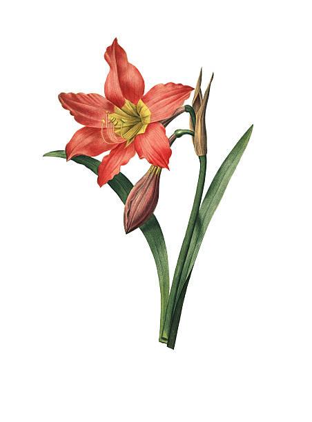 illustrations, cliparts, dessins animés et icônes de amaryllis fleur redoute equestre/illustrations - amaryllis