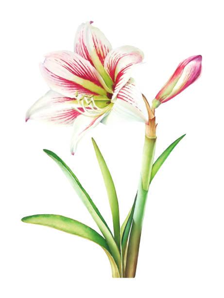 bildbanksillustrationer, clip art samt tecknat material och ikoner med amaryllis växt med vita blommor och gröna blad - amaryllis