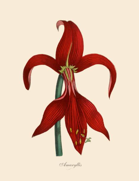 bildbanksillustrationer, clip art samt tecknat material och ikoner med amaryllis växter, viktorianska botaniska illustration - amaryllis