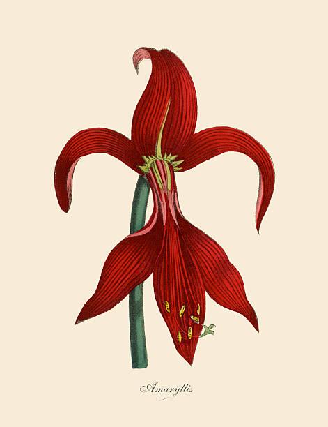 bildbanksillustrationer, clip art samt tecknat material och ikoner med amaryllis plants, victorian botanical illustration - amaryllis