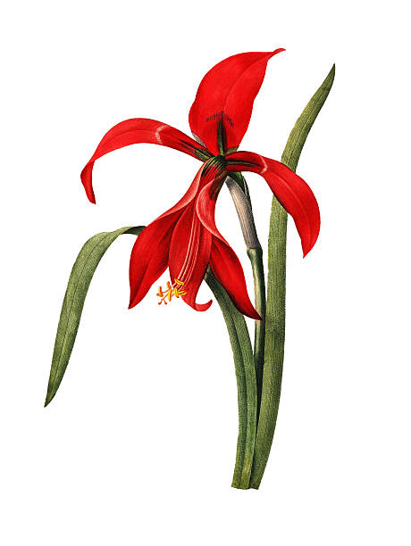 illustrations, cliparts, dessins animés et icônes de amaryllis fleur redoute/illustrations - amaryllis