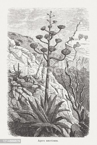 American aloe (Agave americana). Wood engraving, published in 1893.