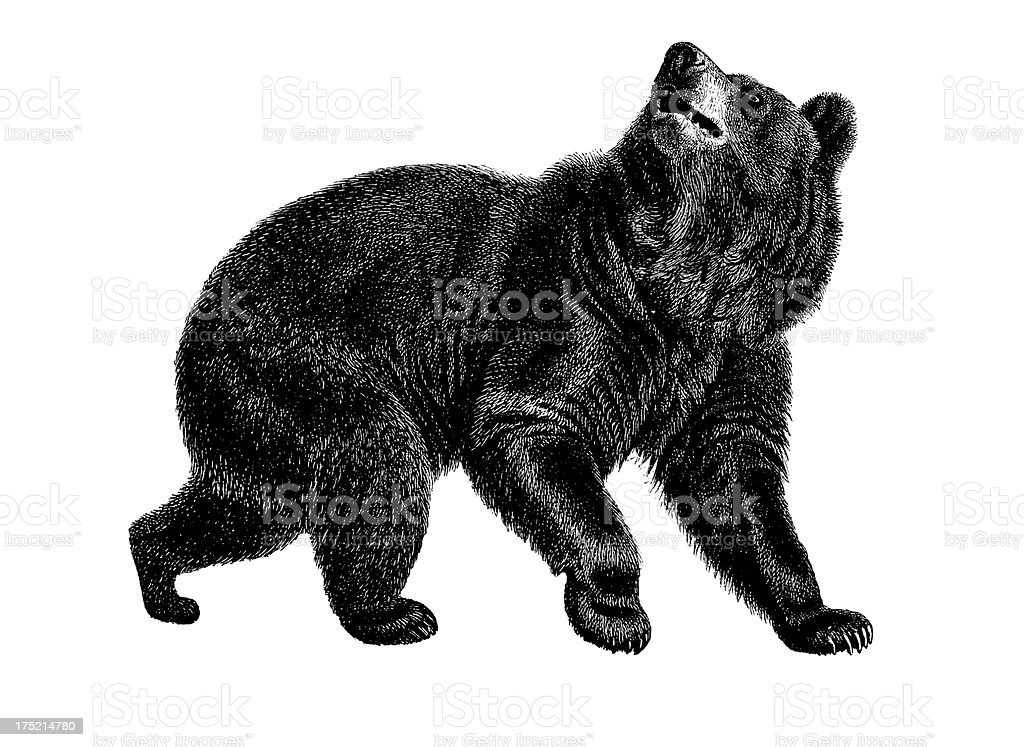 American black bear | Antique Animal Illustrations vector art illustration