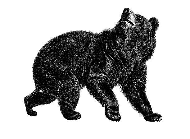 ilustrações, clipart, desenhos animados e ícones de urso preto americano antigo ilustrações de animais / - urso