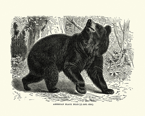 Vintage illustration of American black bear (Ursus americanus), a medium-sized bear native to North America. American black bears are omnivores, with their diets varying greatly depending on season and location.