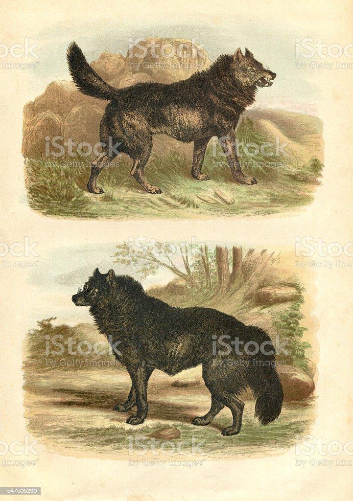 American black wolf engraving 1880 vector art illustration
