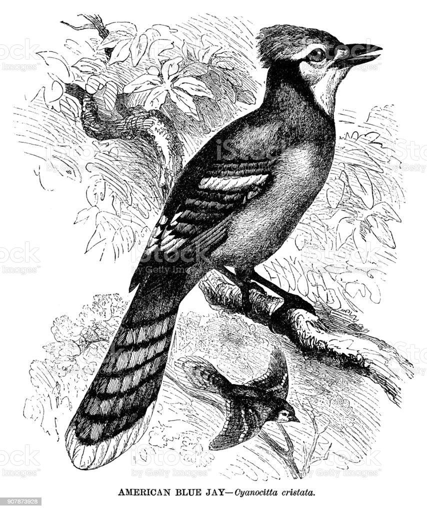 American Blue Jay vector art illustration