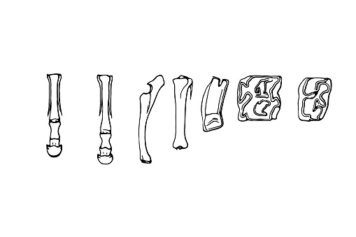 American horse Front hoof ,Hind hoof ,Forearm ,Lower leg ,Upper molar and Lower molar tooth