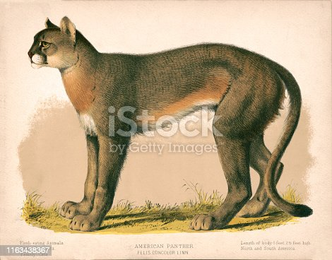 Vintage illustration of felis concolor linn or the American Panther.
