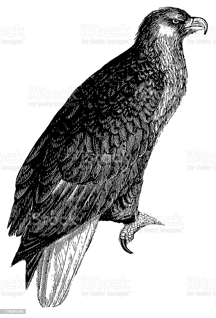 American sea eagle | Antique Bird Illustrations royalty-free american sea eagle antique bird illustrations stock vector art & more images of 19th century