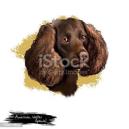 istock American Water Spaniel dog digital art illustration isolated on white background. AWS breed of spaniel, medium-sized hunting dog, double layered coat in brown related shades, head portrait 1250119357