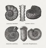 Prehistoric fossils from the Sinemurian (Jurassic): Large ammonite (Ammonites bucklandi, or Arietites bucklandi); Ceratites nodosus; Ammonites amaltheus; Ammonites humphresianus. Wood engravings, published in 1893.