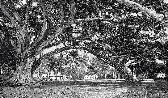 Among a Banyan Tree on Upolu, Samoa