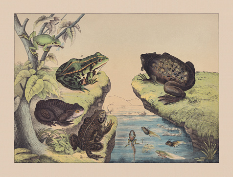 Amphibians (Anura), hand-colored chromolithograph, published in 1882