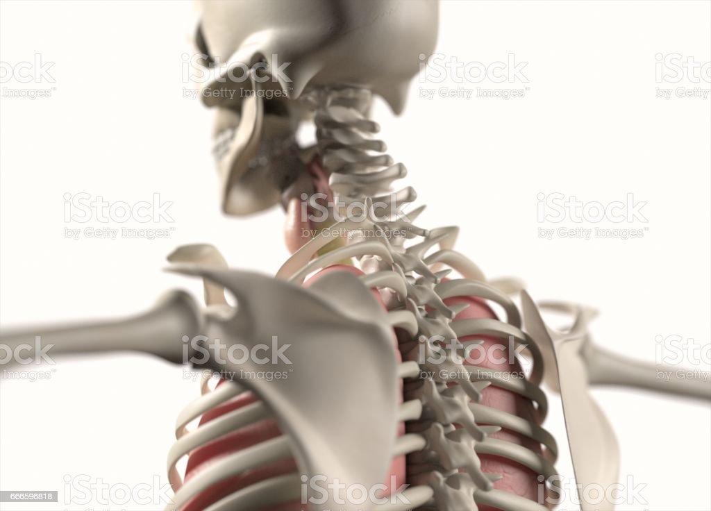 Anatomie Menschlicher Körper Skelettsystems 3d Illustration Stock ...