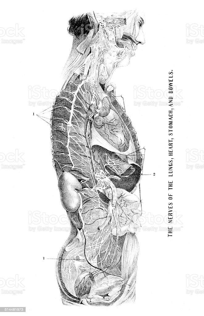 Anatomía Dibujos - Arte vectorial de stock y más imágenes de ...