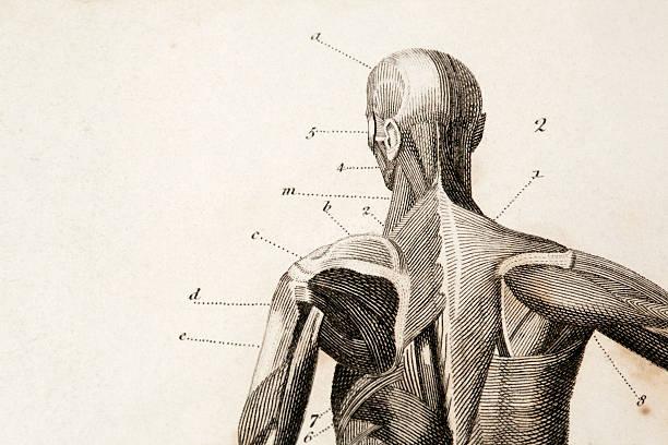 Anatomy engraving macro of an antique anatomy engraving.original engraving by James Amdee in 1809, English Encyclopedia. biomedical illustration stock illustrations