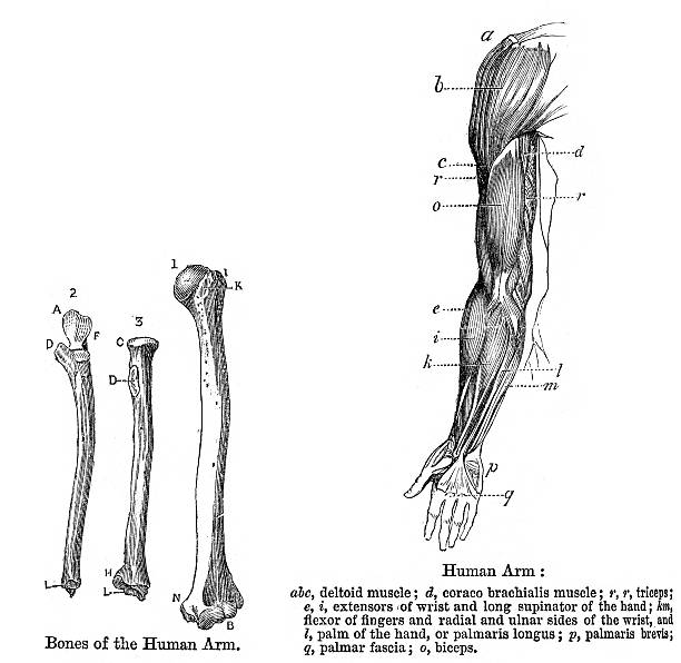 Anatomy - Human Arm Vintage engraving showing the human arm,1864 medical diagrams stock illustrations