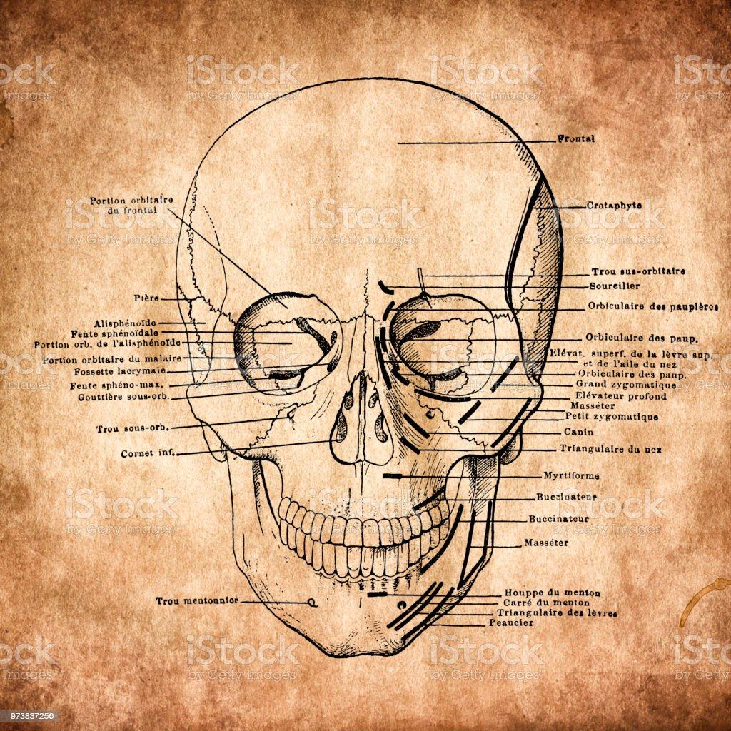 Anatomie Menschliche Schädel Vintage Gravur Stock Vektor Art und ...
