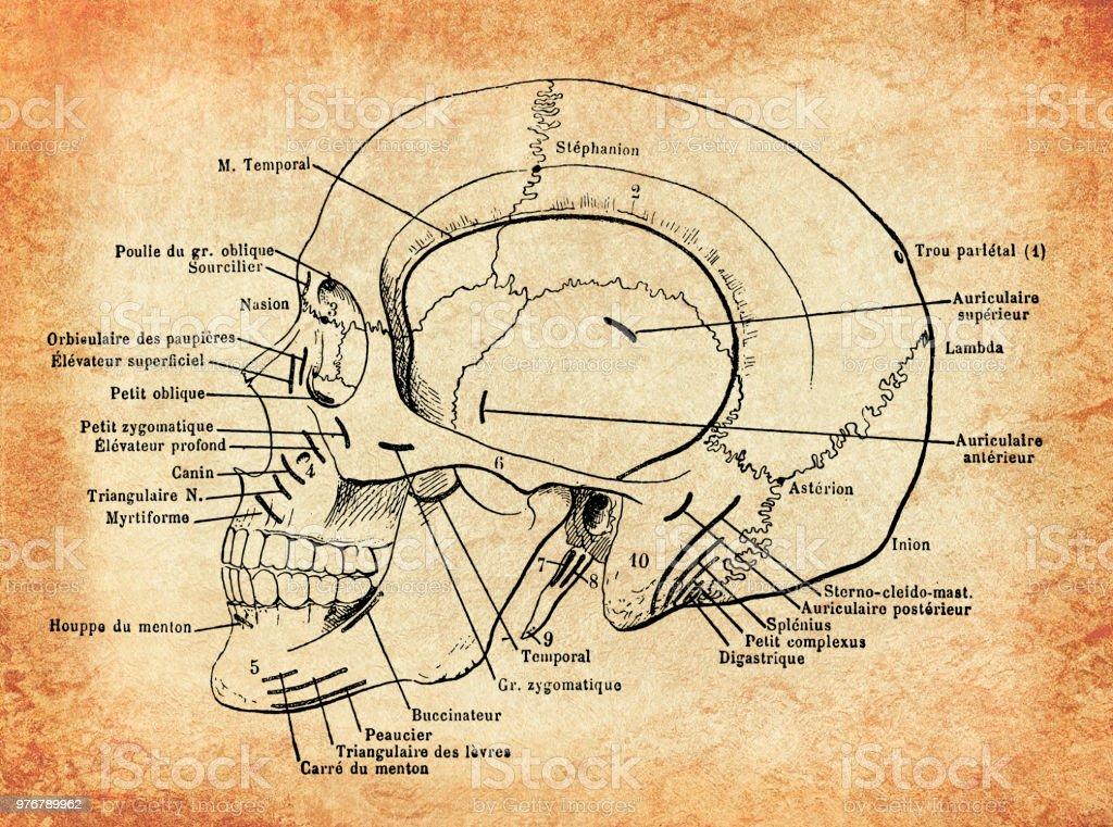 Anatomy Human Skull Vintage Engraving Stock Vector Art & More Images ...