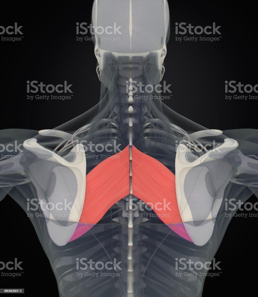 Anatomie Muskel Körper Rautenförmigen Majorhuman Körper Xrayscan 3d ...