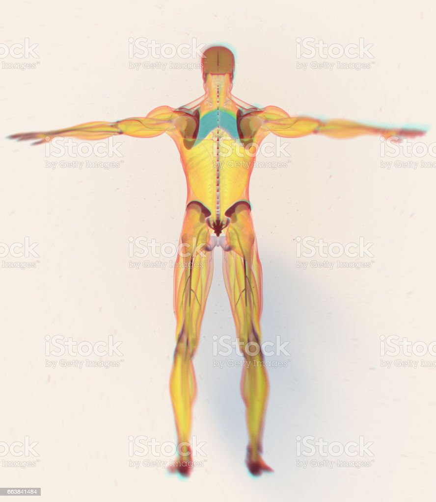 Anatomy muscle body. Rhomboid Major.Human body xray scan. 3D illustration. vector art illustration