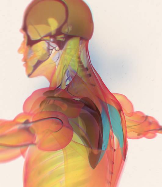 Vectores de Modelos Del Cuerpo Humano y Illustraciones Libre de ...
